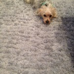 Pleasant Hill-Dog-carpet-clean